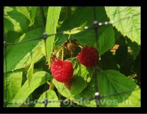 Red control de aves como estrategia de protección de frutillas.