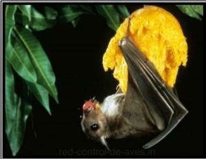 Murciélago en árbol drutal sin protección de red control de aves.