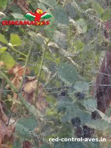 protegiendo los arboles de las aves usando red anti-pajaros